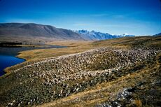 Autumn sheep mustering