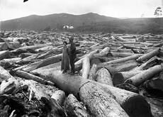Logging kauri: log pile-up