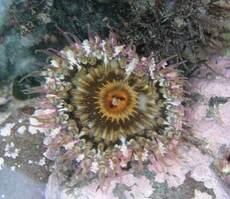 Camouflaged anemone