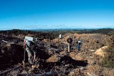 Planting pines