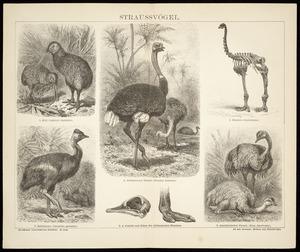 Artist unknown :Straussvoegel. Kiwi (Apteryx Australis) ... Dinornis elephantopus. [1882-1887]