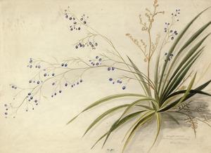 Harris, Emily Cumming, 1837?-1925 :Dianella intermedia. Blue berry. [1890s?]