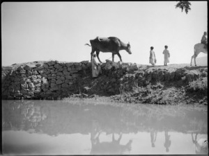 Rural scene of farmer and ox beside a canal near Tura, Egypt - Photograph taken by George Kaye