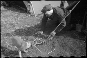 Canine mascot Spandau loosening tent guy rope at the NZ LOB Camp near Capua, Italy, World War II - Photograph taken by George Bull