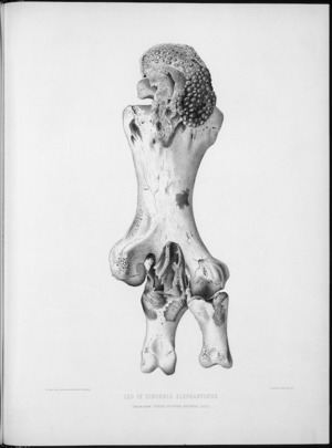 Smit, P. J. :Leg of Dinornis elephantopus. Back view. Three fourths natural size. P. J. Smit delt. Drawn on stone by E. Wilson [Plate L, 1888].