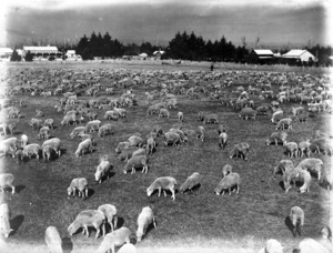 Sheep in a paddock in Stratford