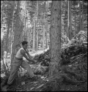 D Baynes uses axe to fell a tree for the NZ Forestry Unit mill in southern Italy, World War II - Photograph taken by M D Elias
