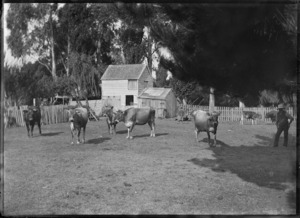 Jersey cattle at James Booth's property, Gisborne