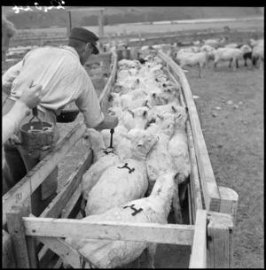 Sheep branding, Grasmere Station, near Cass, Canterbury