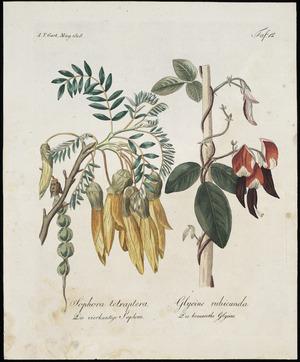 Artist unknown :Sophora tetraptera, die vierkantige Sophora; Glycine rubicunda, die braunrothe Glycine. Taf. 12. A. T. Gart. Mag 1808.