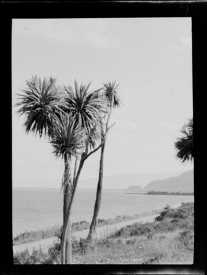 Cabbage trees beside road, looking out to sea, Makarora, Otago District