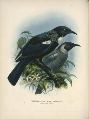 Keulemans, John Gerrard, 1842-1912 :Prosthemadera Novae Zealandiae (Adult and young) [Tui] London, 1873