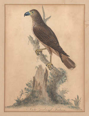 Artist unknown :New Zealand falcon [1790s?]