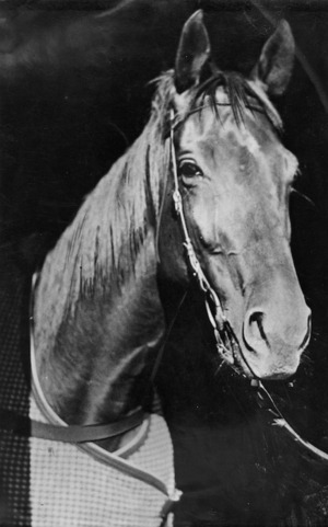 Racehorse Phar Lap - Photograph taken by the Evening Post