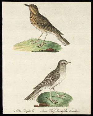 [Latham, John] 1740-1837 :1. Die Pieplerche; 2. Die Neuseelaendische Lerche [1792-1798]