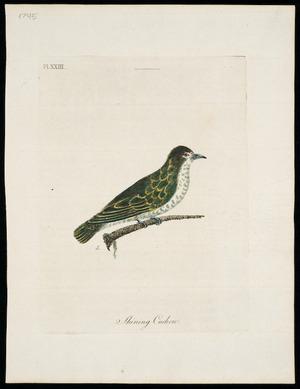 [Latham, John] 1740-1837 :Shining cuckow. Pl[ate] XXIII [1795]