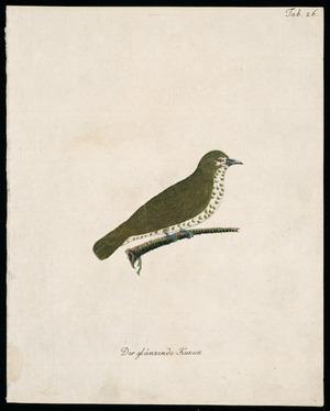 [Latham, John] 1740-1837 :Der glanzende kukuk. Tab. 26. [1792-1812]