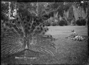 View of a peacock in the garden at the Wanganui Racecourse