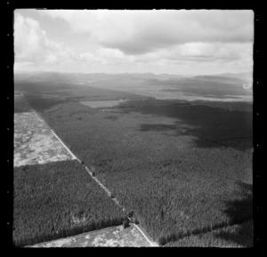 Pine forest at Pukahunui Plantation, Whakatane District, Bay of Plenty Region