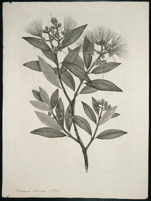 [Parkinson, Sydney] 1745-1771 :[Botanical plates relating to Cook's first voyage] Metrosideros tomentosa. A. Rich. [Rata species]. [London, British Museum, 1890s]