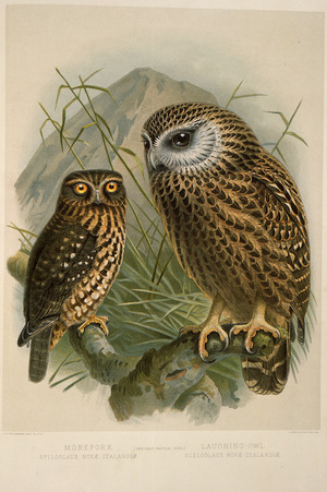 Keulemans, John Gerrard 1842-1912 :Morepork, Spiloglaux novae-zealandiae; Laughing owl, Sceloglaux novae-zelandiae. (One-half natural size). / J. G. Keulemans delt. & lith. [Plate XX. 1888].