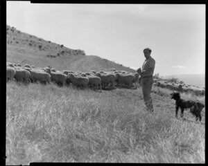Hugh Wynter with dog and flock of sheep