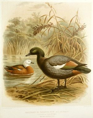Keulemans, John Gerrard, 1842-1912 :Sheldrake or Paradise duck. [male and female]. Cascara variegata. (one half natural size). / J. G. Keulemans delt. & lith. [Plate XLIII.. 1888].