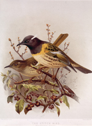 Keulemans, John Gerrard, 1842-1912 :The stitch bird - pognornis cincta (male and female). / J. G. Keulemans delt. & lith. Judd & Co. Ltd. [Plate XVII. 1888].