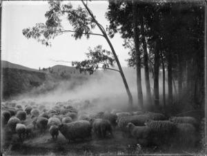 Mustering sheep on a station behind Waipiro Bay