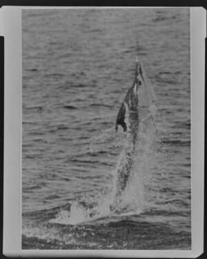 Marlin being pulled in