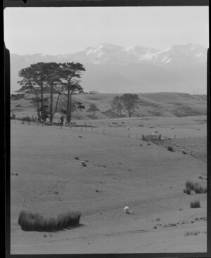 Sheep paddocks, with Kaikoura mountains in the background