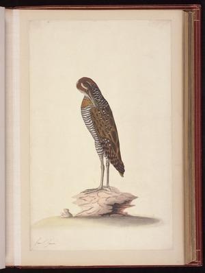 Raper, George, 1769-1797: [Buff-banded rail (Gallirallus philippensis)]