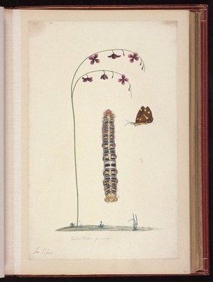 Raper, George, 1769-1797: Tetrathera juncea [Magpie moth (Nyctemera amicus), caterpillar of batwing moth (Chelepteryx collesi), and flowering plant]