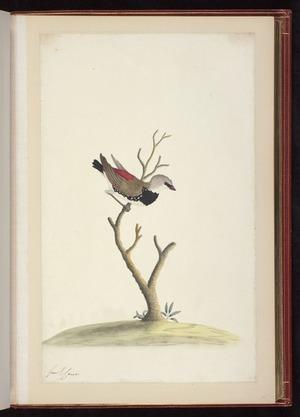 Raper, George, 1769-1797: [Diamond firetail (Stagonopleura guttata)]