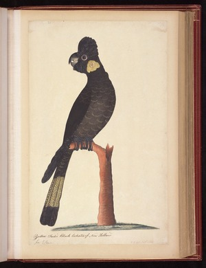 Raper, George, 1769-1797: Yellow Tailed Black Cockatoo of New Holland. 2 1/3 less Nat[ura]l Size [Yellow-tailed black cockatoo (Calyptorhynchus funereus)]