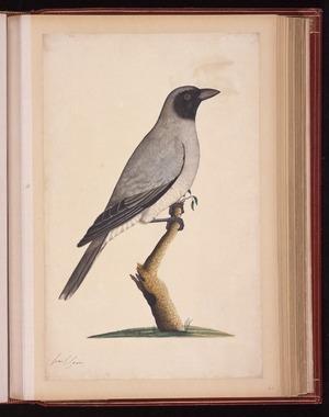 Raper, George, 1769-1797: [Black-faced cuckooshrike (Coracina novaehollandiae)]