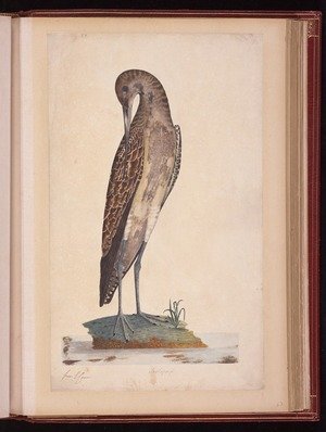 Raper, George, 1769-1797: Scolopax [Bar-tailed godwit (Limosa lapponica)]