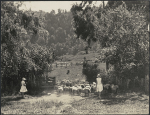 June and Frances Mowat moving sheep, Mangatoi Station