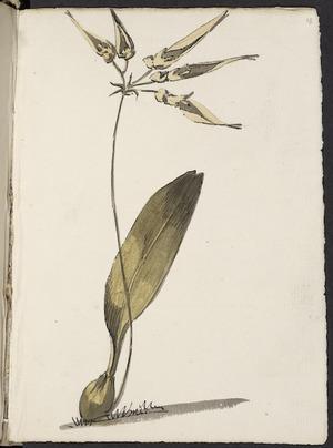 [Hodges, William] 1744-1797 :[Cirrhopetalum spp. 1773?]