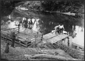 Loading pigs on to a boat, Mokau River