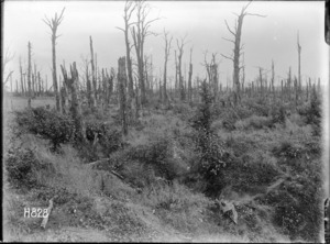The damaged trees in Gommecourt Wood, France, World War I