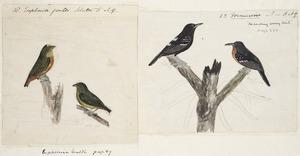 [Tempsky, Gustavus Ferdinand von], 1828-1868 :18. Euphonia gouldi. Sclater [Male & female symbols]. 23. Formicivora. 'Marching army birds'. [185-]