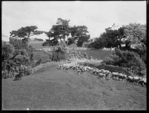Sheep mustering, Northland Region