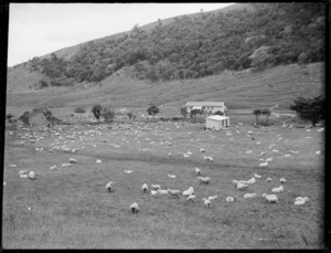 Sheep grazing, Northland Region