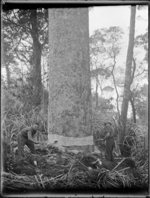 Two timber workers sawing a kauri tree, Northland