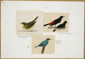 [Tempsky, Gustavus Ferdinand von], 1828-1868 :Yellow breast wagtail. Red back blackbird. Black head greenbird [Between 1853 and 1856]