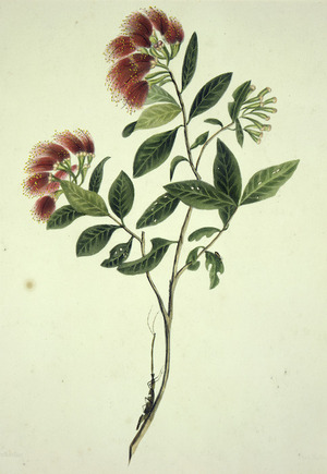 King, Martha 1803?-1897 :The rata, in flower. Drawn by Miss King. [1842] Day & Haghe. London, Smith, Elder [1845]