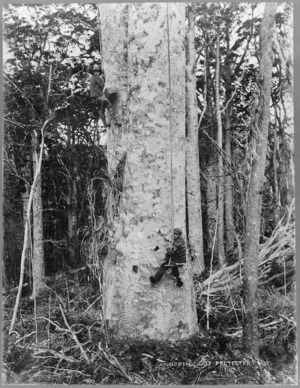 Men bleeding kauri tree for gum, Northland