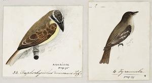[Tempsky, Gustavus Ferdinand von], 1828-1868 :Scaphorhynchus mexicanus (33). Lafs.? Kisskidee. Tyrannrula (4) [Between 1853 and 1856]