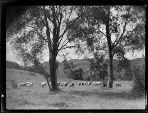 Sheep in a paddock near kowhai trees, Mangamahu